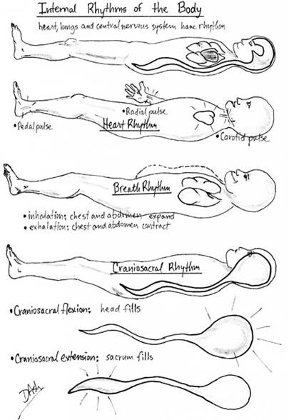 Ritmurile interne ale organismului