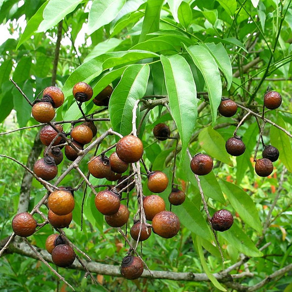 Elaeocarpus Ganitrus Roxb